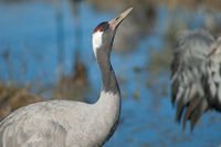 Common crane (Grus grus) drinking water. Gallocanta Lagoon Natural Reserve. Aragon. Spain.