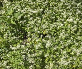 Waldboden mit blühenden Bärlauchpflanzen