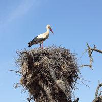 Weißstorch im Nest auf einem Baum