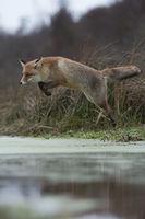zielorientiert... Rotfuchs * Vulpes vulpes * im Sprung über einen Wassergraben