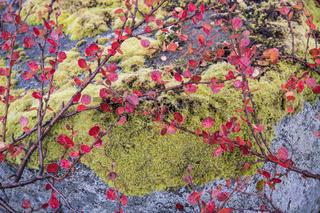 Zwergbirke mit moosbedecktem Fels, Dundret Naturreservat, Lappland
