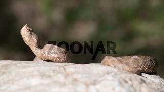 Sandotter Weibchen