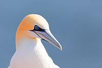 northern gannet, Helgoland Germany