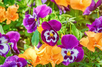 Flower Bed with Pansies