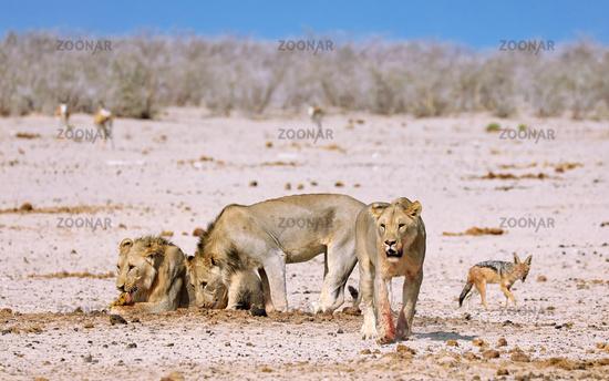 Löwenrudel, Etosha-Nationalpark, Namibia, (Panthera leo) | lions, Etosha National Park, Namibia, (Panthera leo)