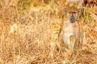Steppenpavian, Liwonde Nationalpark, Malawi, (papio cynocephalus) | baboon, Liwonde National Park, Malawi, (papio cynocephalus)