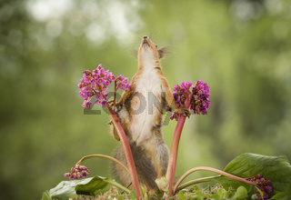 red squirrel is climbing in a Bergenia