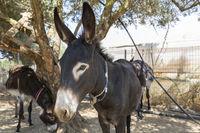Esel in der Landwirtschaft auf Kreta, Griechenland