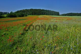 Landschaft mit Kornblumen und Klatschmohn auf der Schwäbischen Alb