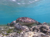 Sea turtle feeding and swimming freely in the blue ocean.