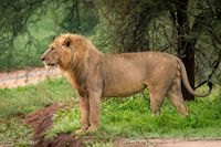 Male lion standing beside road in profile