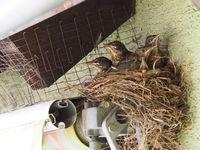 5 fast flügge, junge Amseln im Nest auf Rolladen