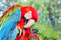 Blue wing red macaw cleans its feathers