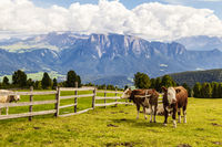 Rinder auf Almwiese, Südtirol, Italien, cattle on meadow, south tyrol, italy