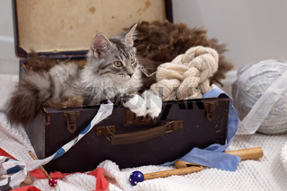 Maine Coon Kitten Sitting In A Suitcase