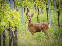 Roebuck at a vineyard in Austria