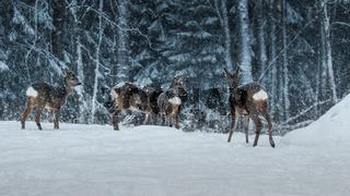 eine Herde Rehe steht im hohen Schnee
