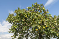 Quittenbaum mit Fruechten