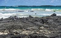 Meeresleguane an der Lavaküste der Insel Isabela, Galapagos Inseln, Ecuador