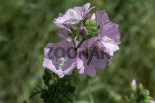 Storchschnabel, rosa blühend (Geraniaceae)