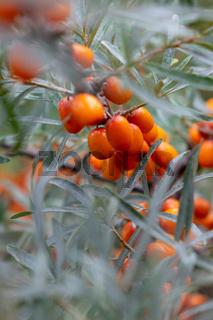 Orange organic sea-buckthorn berries on a tree in the garden