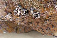 Entenmuschel (Pedunculata) in einer Grotte am Atlantik, Bretagne, Frankreich
