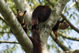 Indian giant squirrel or Malabar giant squirrel, Ratufa indica, Dandeli National Park, Karnataka, Dandeli