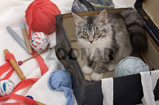 Maine Coon Kitten In A Suitcase