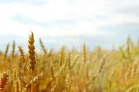 Wheat field under blue sky