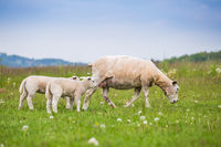 Texel ewe female sheep with newborn lamb in lush green meadow in Spring Time.