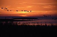 Gaense und Kraniche bei Sonnenaufgang