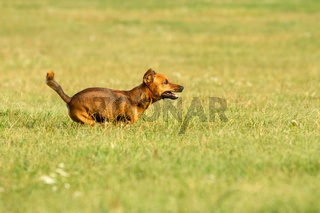 Cute mixed breed dog playing on a meadow. Age almost 2 years. Parson Jack Russell - German shepherd - Chihuahua mix.