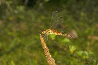 Crimson marsh glider, Trithemis sp, Libelluloideay, Agumbe ARRSC, Karnataka , India