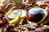 Fallen chestnuts in nature