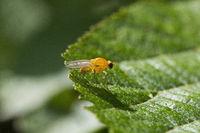 Fruit flies, Drosophila sp, Drosophilidae, Aarey milk colony Mumbai