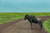 White-bearded wildebeest stands in road through savannah