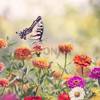 Swallowtail butterfly on colorful zinnia flowers
