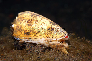 Sand-dusted Cone Shell, Conus arenatus