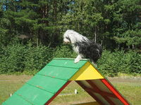 Hunde agility - Tibet Terrier