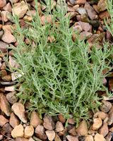 Lavendel, Zimmer-, Lavendula heterophylla