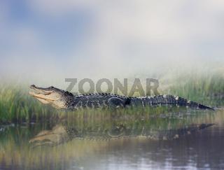 American alligator near water