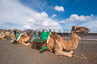 Camels resting in volcanic landscape in Timanfaya national park, Lanzarote, Canary islands, Spain.