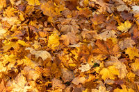 Forest floor covered with dry leaves