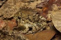 Frog, Trishna, Tripura , India