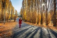 Poplars along rural country road
