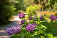 Purple flowers of a hydrangea on green bushes