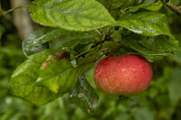 Red apple hanging on a branch