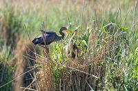 Purpurreiher auf dem  Nest