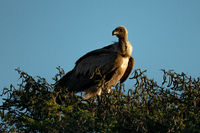 African white-backed vulture in tree turns head