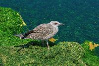 Nestling of Seagull